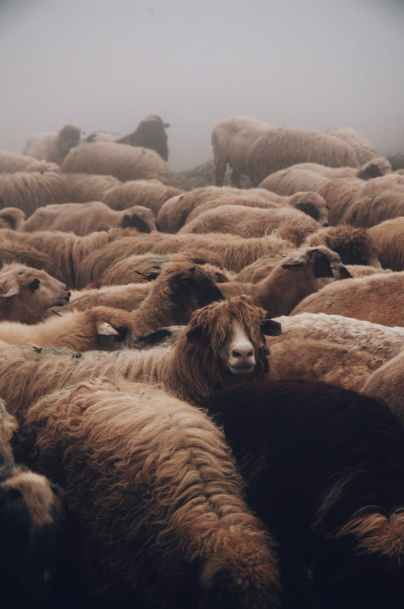 close up photo of a herd of sheep
